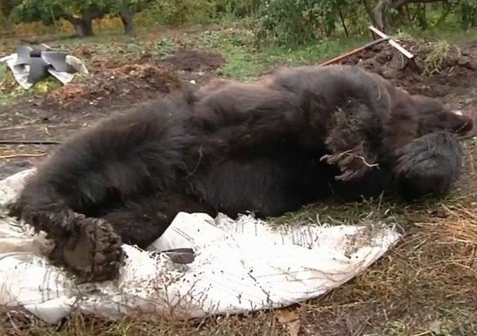 Rusiyada ayı Böyük Vətən müharibəsi veteranını öldürdü – VİDEO