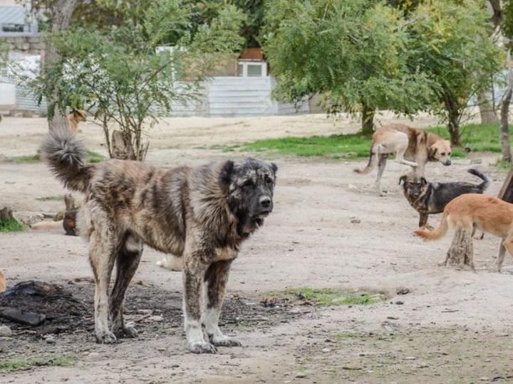 В Баку на бродячих собак будут вешать бирки