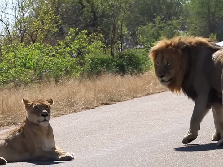 В ЮАР лев набросился на автомобиль с туристами, чтобы «похвастаться» - ВИДЕО