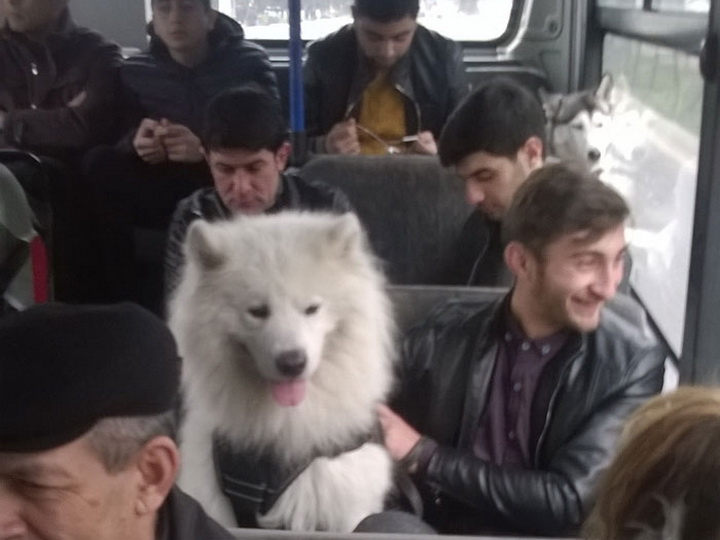 В Баку собаки проехались в автобусе и остались довольны – ФОТО – ВИДЕО