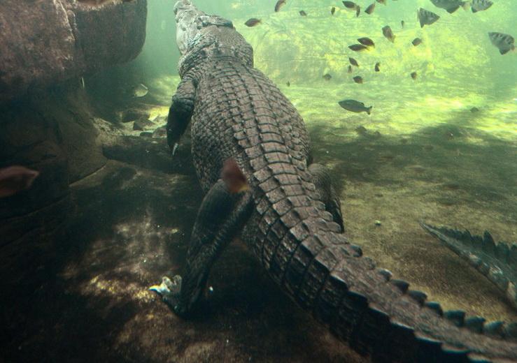 В Мексике крокодил утащил под воду 12-летнего мальчика