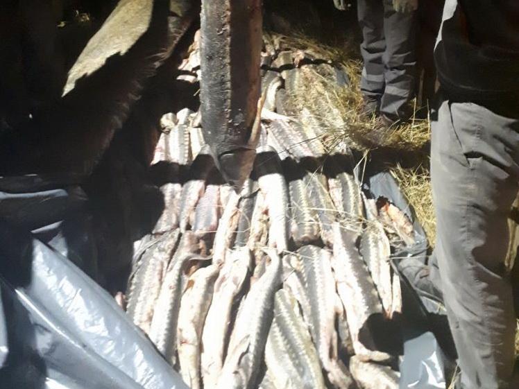 Предотвращен незаконный ввоз в Азербайджан крупной партии осетровых рыб – ФОТО - ВИДЕО