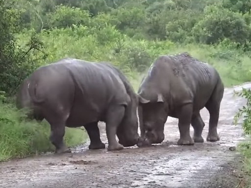 Битва двух носорогов попала на видео