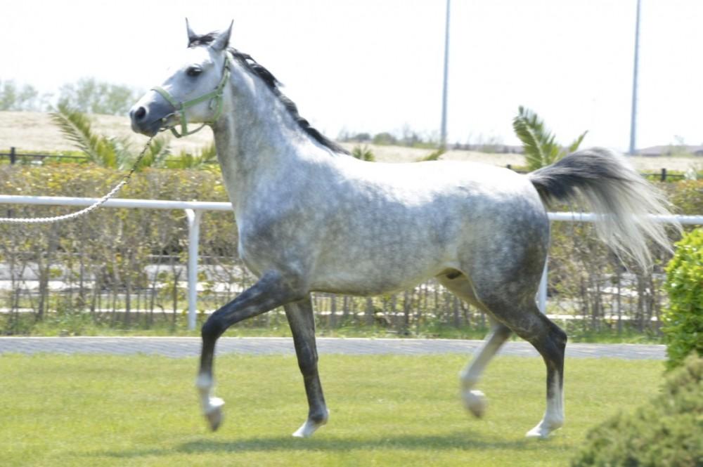 Kim minir Qazaxın Dilbaz atını, o, alır toyların şal-xalatını...