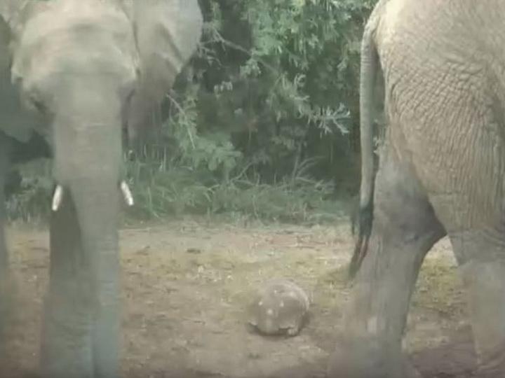 Черепаха чудом выжила после «нашествия» слонов – ВИДЕО