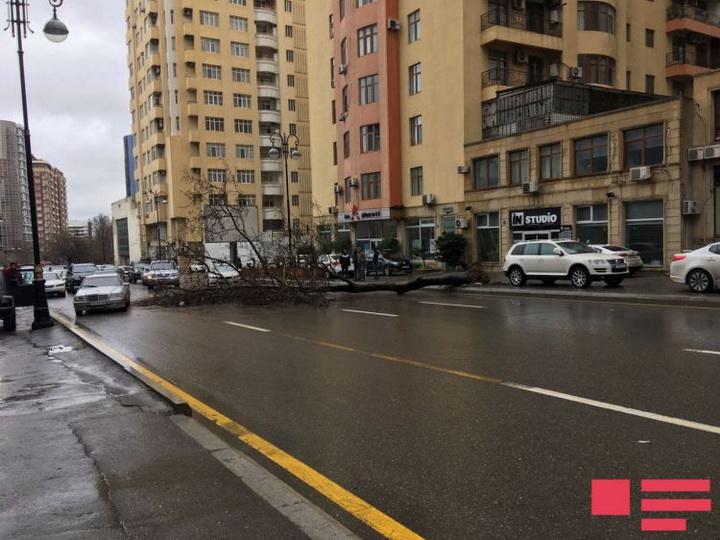 Поваленное сильным ветром дерево парализовало движение в центре Баку – ФОТО