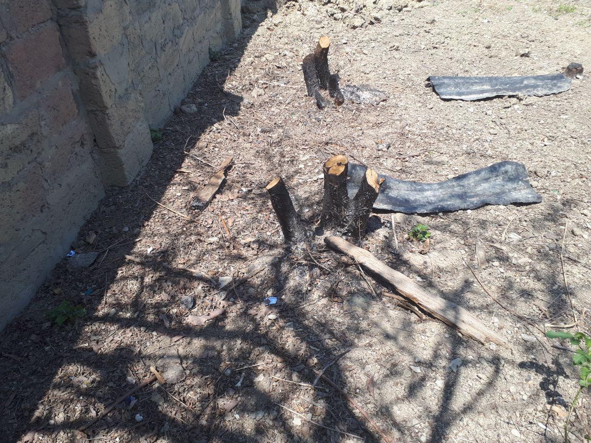Житель Баку, срубивший 27 деревьев, свалил все на кроликов: «Срубил и правильно сделал!» – ФОТО – ВИДЕО – ОБНОВЛЕНО