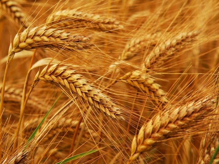 В Азербайджане значительно вырос сбор урожая зерновых и зернобобовых культур