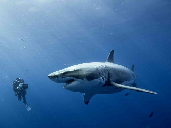 На британском побережье значительно увеличится число акул