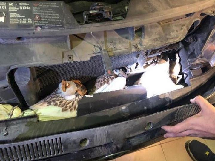 Гражданин Азербайджана пытался вывезти из Дагестана под капотом автомобиля трех хищных птиц - ФОТО