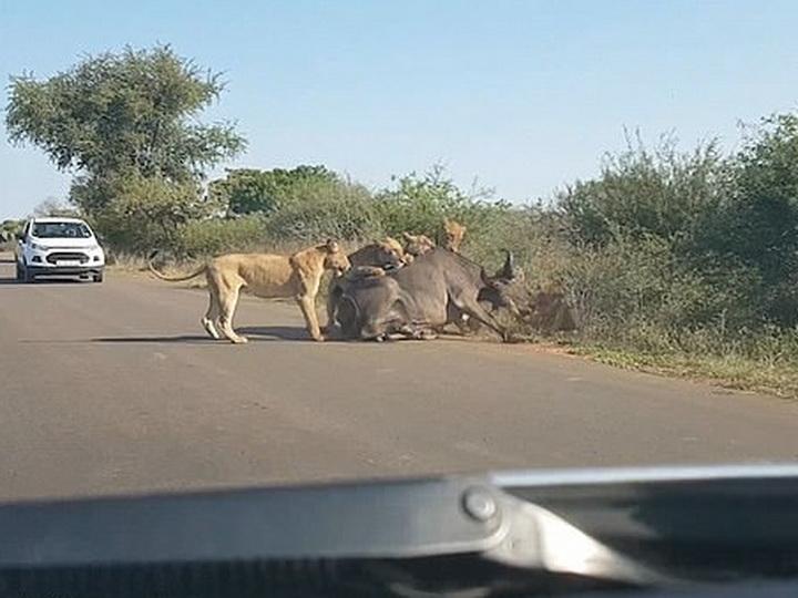 Львы растерзали буйвола на проезжей части перед пораженными водителями - ВИДЕО