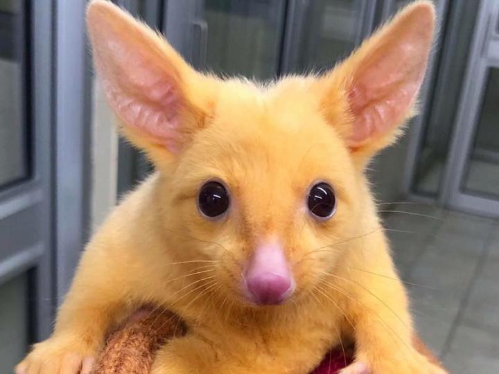В Австралии обнаружили настоящего Пикачу – ФОТО