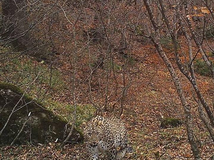 Редкий переднеазиатский леопард вновь замечен в Талышских горах – ФОТО – ВИДЕО
