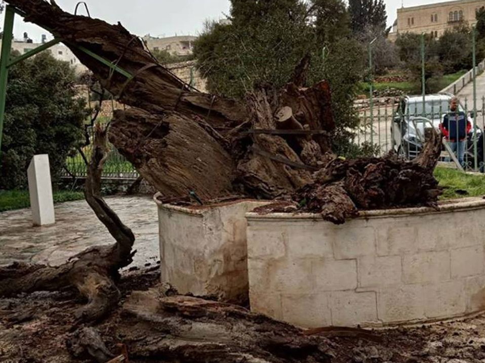 Пророчество о конце света: в Палестине рухнул Дуб Авраама - ФОТО