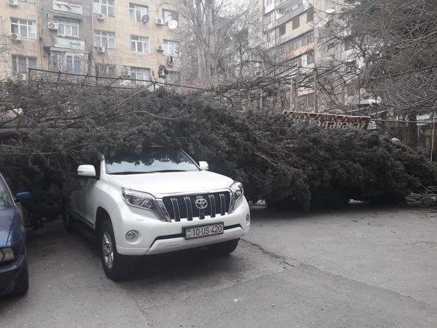 Поваленное ветром дерево раздавило машину в Баку - ФОТО