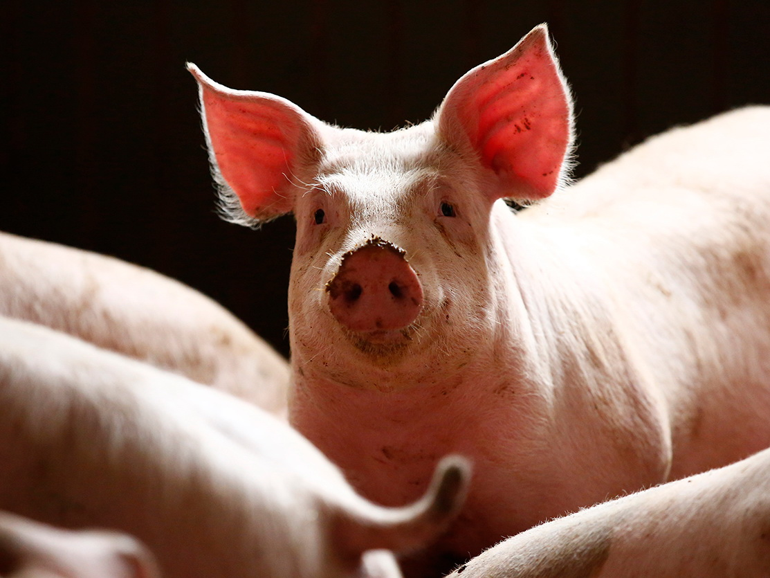 Мозг свиньи частично оживили через четыре часа после ее смерти