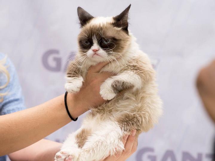 Умерла знаменитая сердитая кошка Grumpy Cat - ФОТО