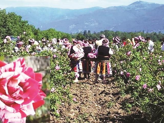 Край цветов: на плантациях Закаталы продолжается сбор
