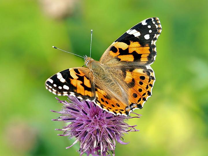 Баку заполонили бабочки: С чем это связано?