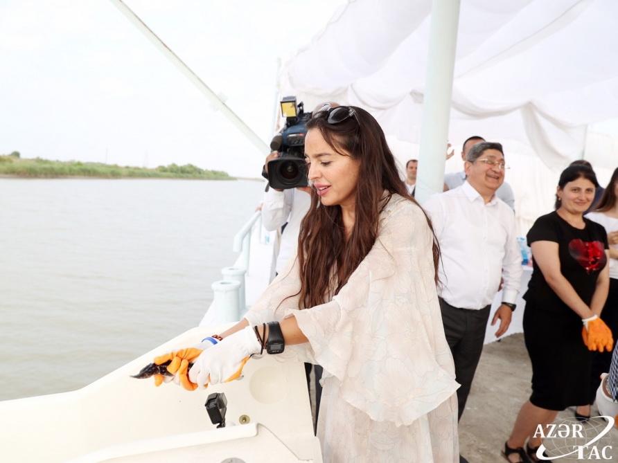 Лейла Алиева приняла участие в церемонии выпуска в Каспий мальков осетровых, выращенных в Нефтчале - ФОТО