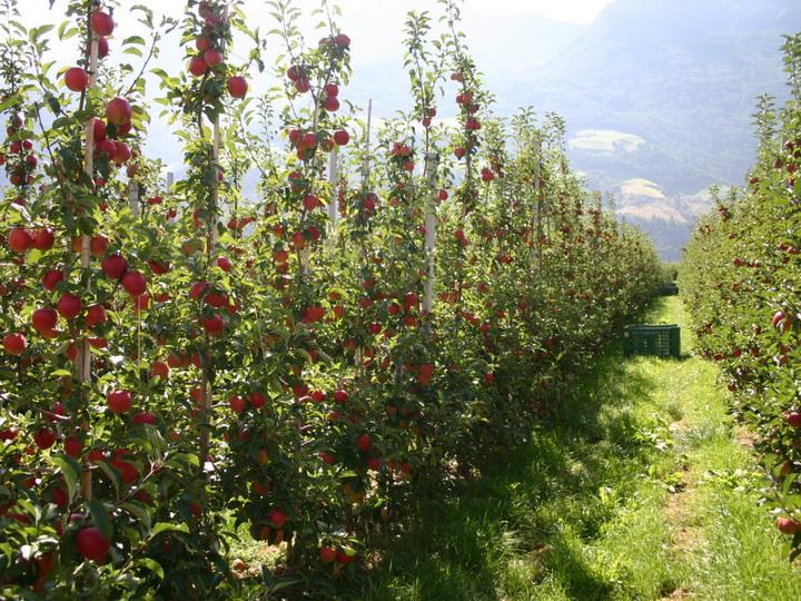 В Азербайджане уделяется большое внимание развитию интенсивного садоводства