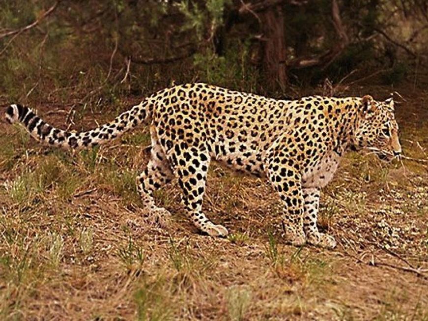 Процесс восстановления популяции переднеазиатских леопардов на Кавказе может продлиться 20-25 лет