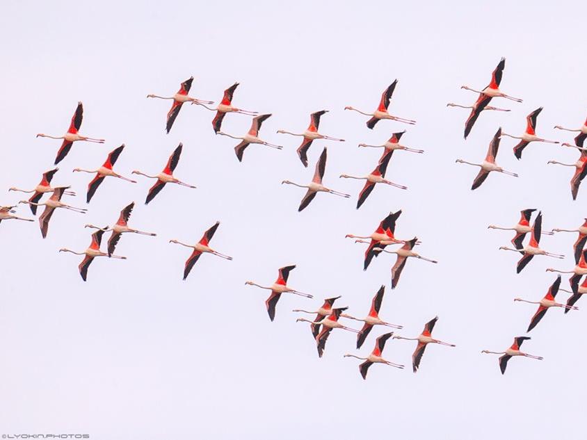 Это прекрасно: Розовые фламинго в Ширванском национальном парке – ФОТО