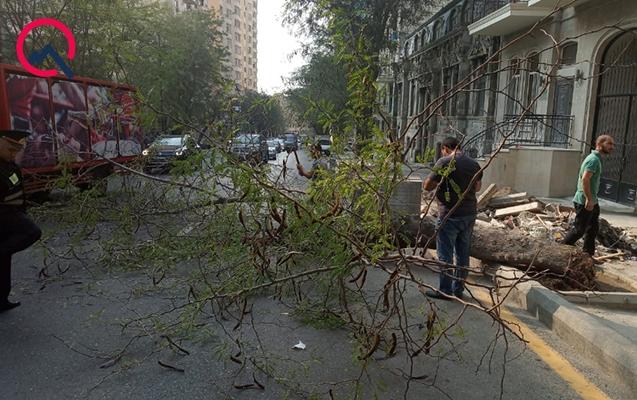 Началось: Штормовой ветер валит деревья в Баку - ФОТО