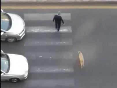 Добрый самаритянин: В Баку пешеход помог собаке перейти дорогу по зебре – ВИДЕО