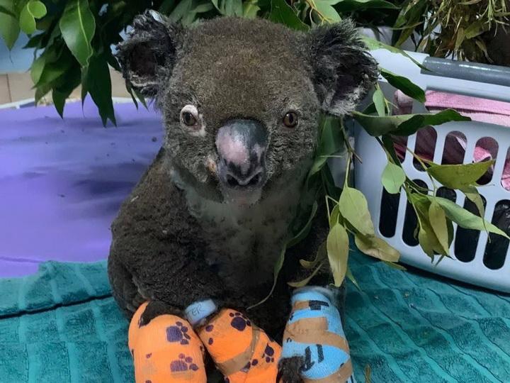 Грустный финал для коалы, спасенной из лесного пожара: ожоги оказались несовместимыми с жизнью – ФОТО – ВИДЕО