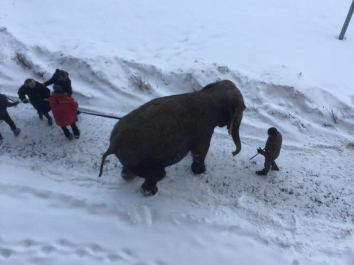 Два цирковых слона сбежали понежиться в сугробах в центре города – ВИДЕО