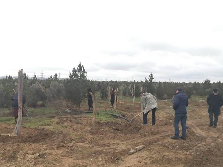 Минэкологии о вырубке деревьев в Баку под новостройку - ФОТО - ВИДЕО
