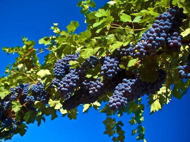 Виноградарство: по программе возрождения отрасли