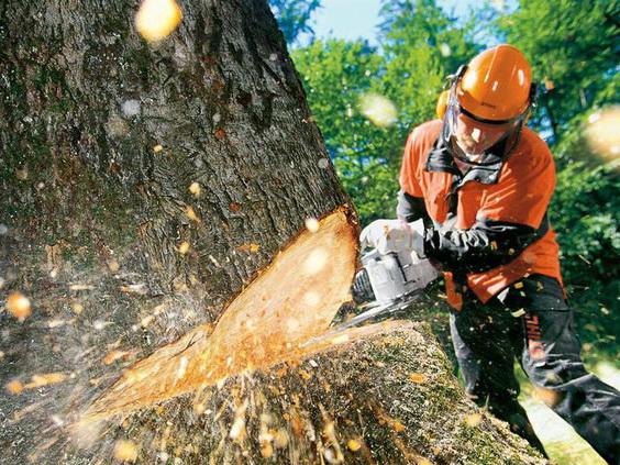 В Баку стройфирма спилила многолетние деревья