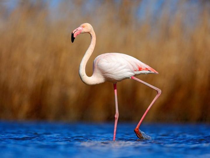 Розовые фламинго – очарование Гызылагачского национального парка Азербайджана – ФОТО