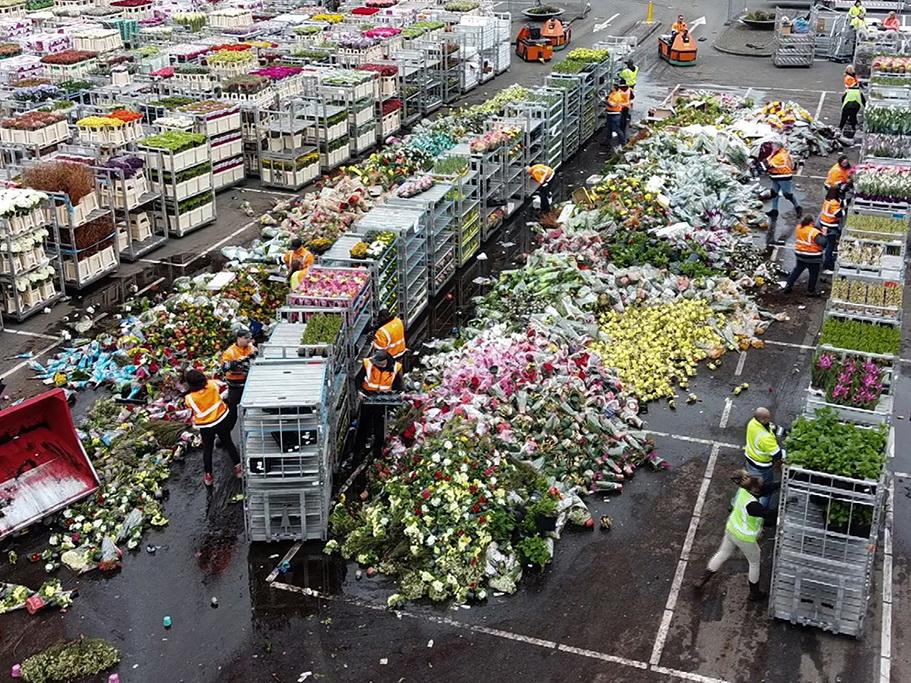 Из-за коронавируса в Нидерландах уничтожают тысячи цветов - ФОТО