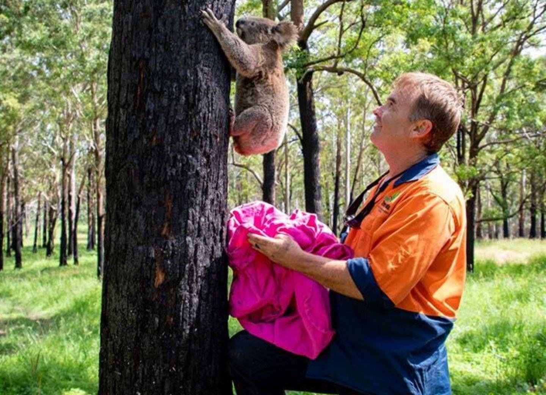 После пожаров в Австралии спасенных коал вернули в дикую природу – ФОТО - ВИДЕО