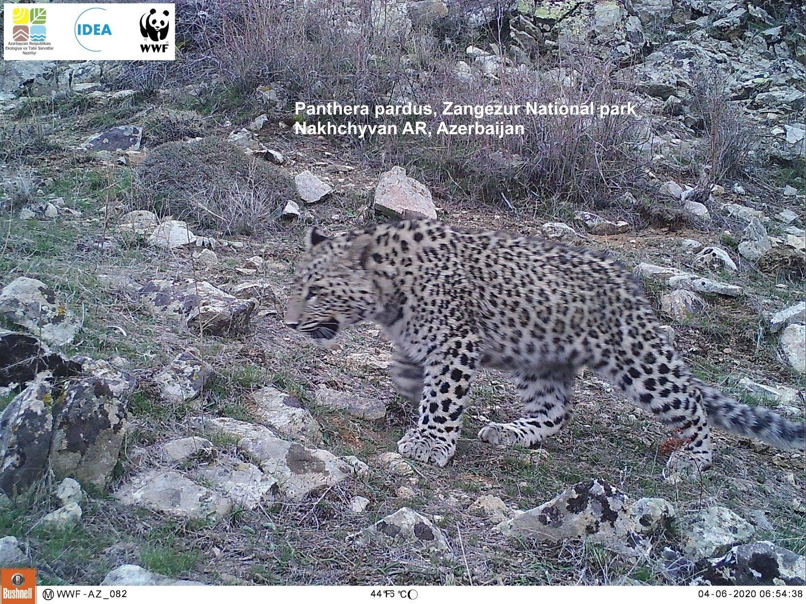Детенышам леопарда в Зангезурском национальном парке исполнилось 7 месяцев – ФОТО