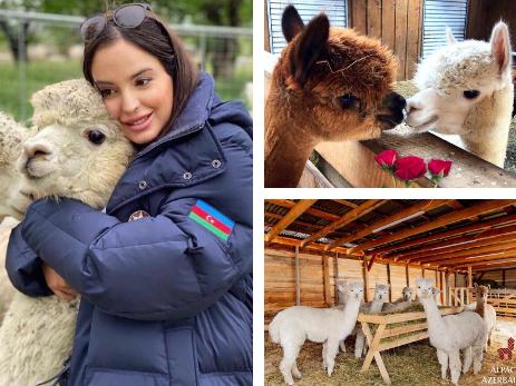 Очаровательные обитатели Шамахи. Лейла Алиева посетила ферму по разведению альпака – ФОТО – ВИДЕО