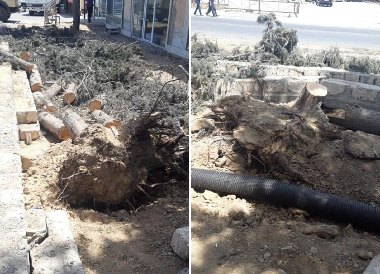 В Баку безжалостно уничтожили многолетние деревья - ФОТОФАКТ