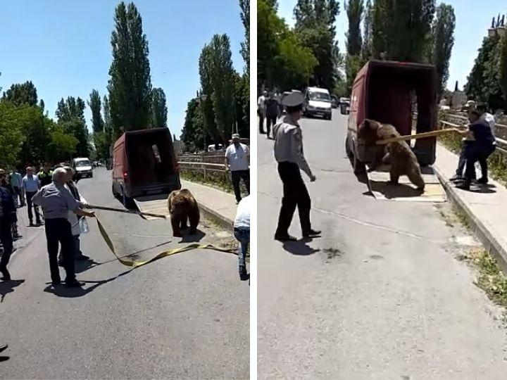 В Шеки поймали гуляющего по центру города медведя - ВИДЕО