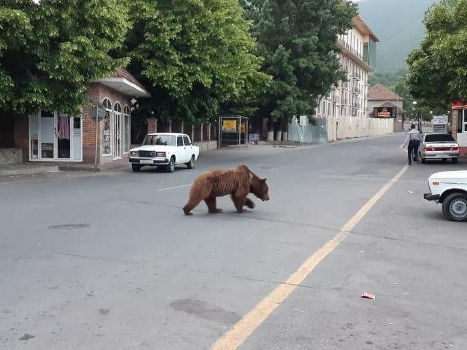 Минэкологии командировало в Шеки специалиста для спасения медведя – ФОТО – ВИДЕО