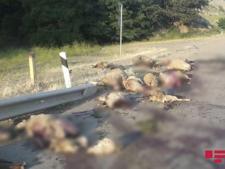 В Азербайджане «КамАЗ» въехал в стадо овец, убив 25 животных – ФОТО