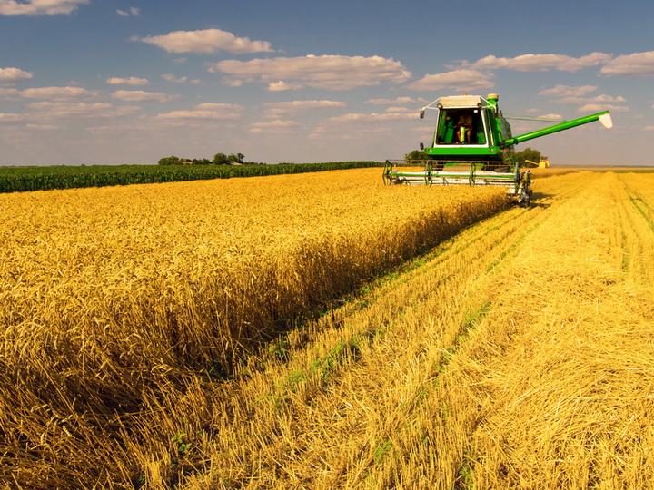 В Шеки ведут уборку продовольственной пшеницы