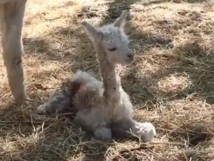 «Малыш чувствует себя отлично!» На ферме альпака в Шамахе пополнение – ФОТО – ВИДЕО