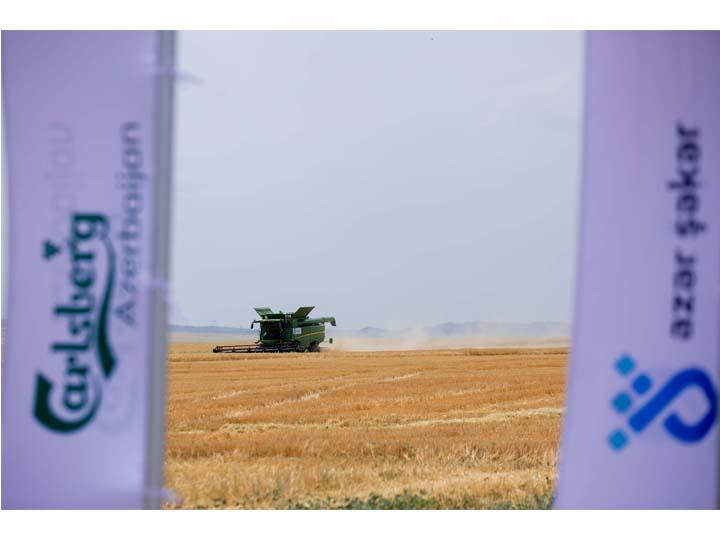 Carlsberg Azerbaijan в сотрудничестве с AzərŞəkər завершили сбор урожая пивоваренного ячменя - ФОТО