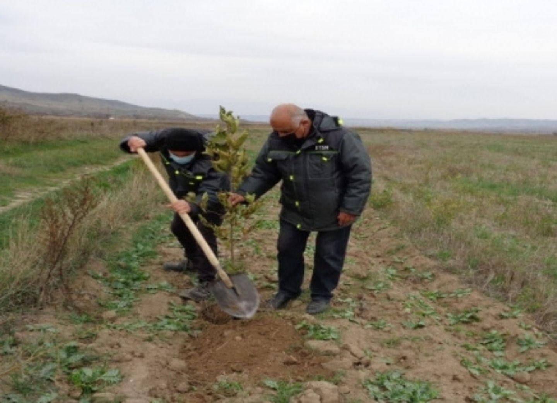 В Губадлы посажены восточные платаны, разбит тутовый сад - ФОТО