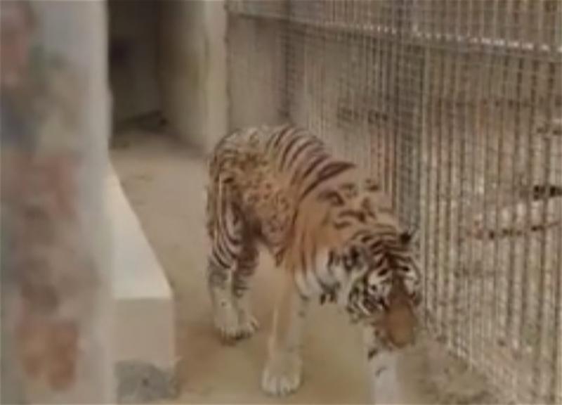 Животных из старого Бакинского зоопарка оставили медленно умирать? - ВИДЕО