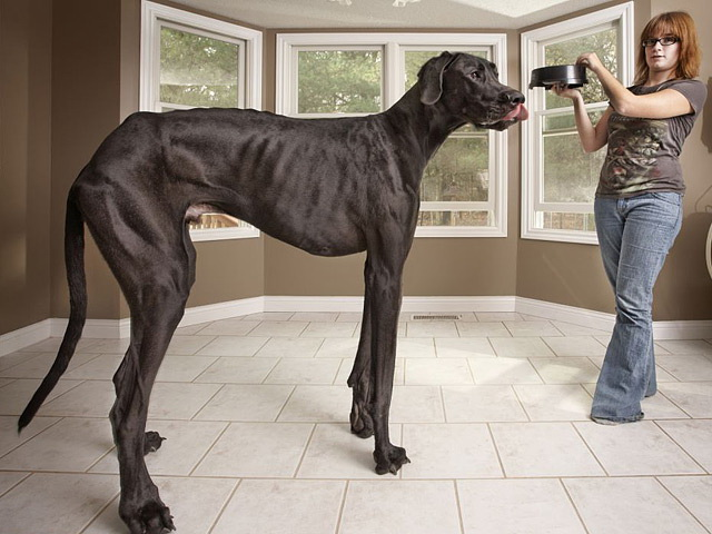 Largest dog in the world zeus