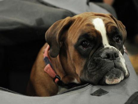 Ученые из Великобритании впервые клонируют умершую собаку